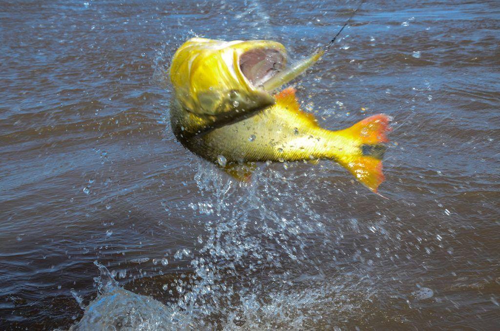 Dourado, peixe muito esportivo.