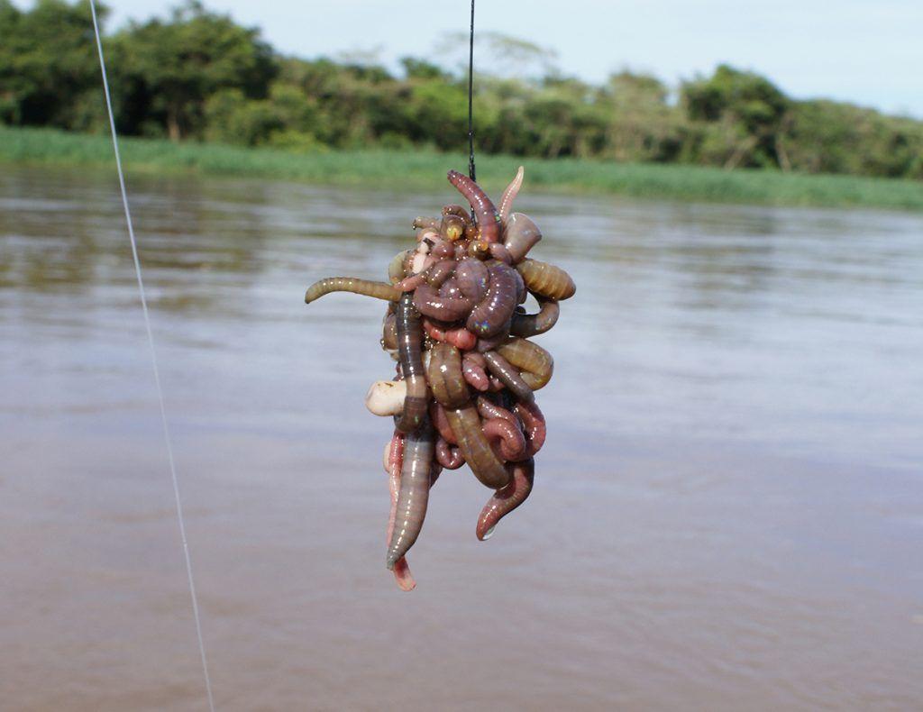 Minhocoçu isca para pesca excelente